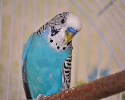blue-parakeet-jai-johnson