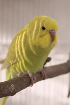 yellow-parakeet